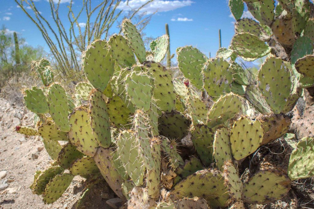 Close-up of prickly pear cactuses, with a blue sky in the background.