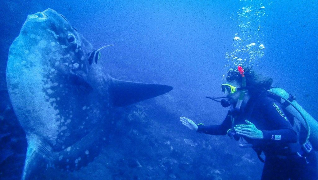 Underwater photo of a sunfish next to a scuba diver blowing bubbles.