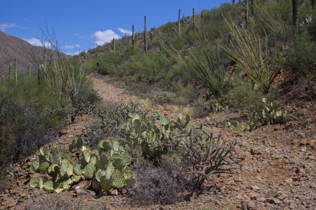 Narrow dirt trail with shrubs and cactuses on either side.