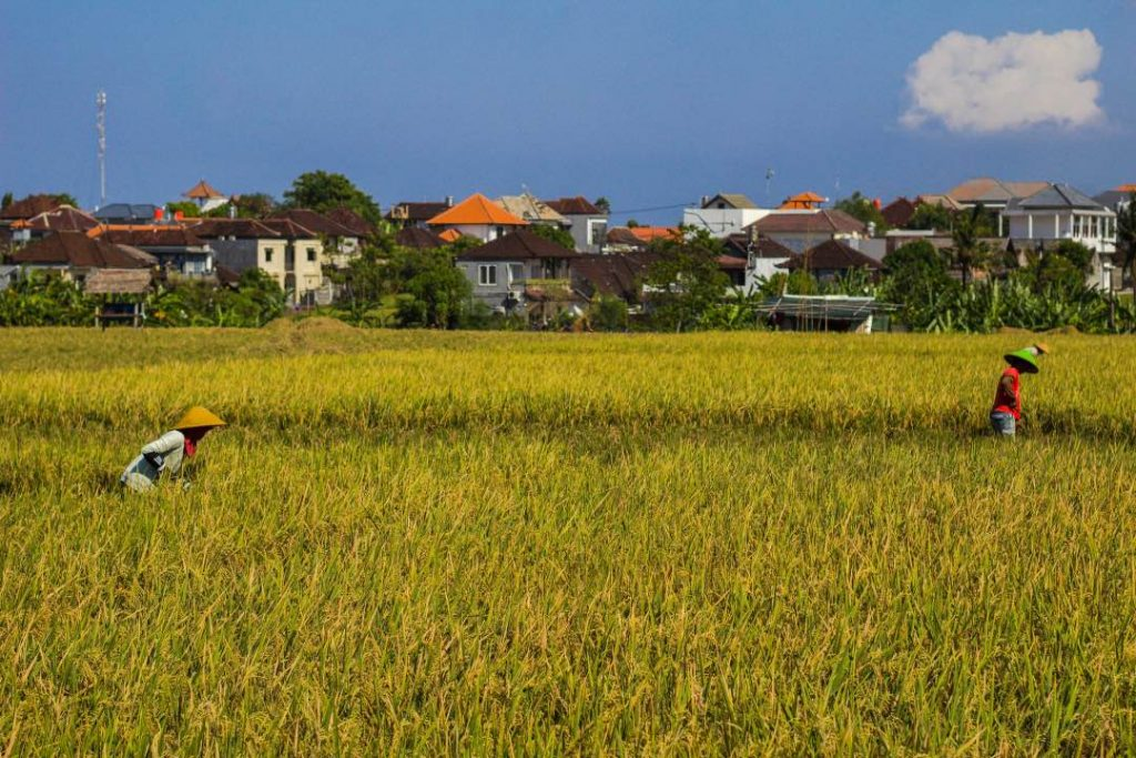 Two people harvesting rice in a field with houses in the background.